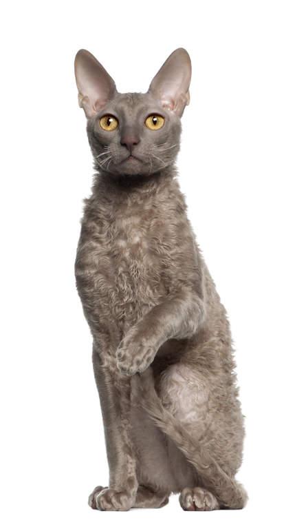 cornish rex katt