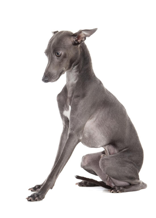 italiensk vinthund hundar rasinformations omlet