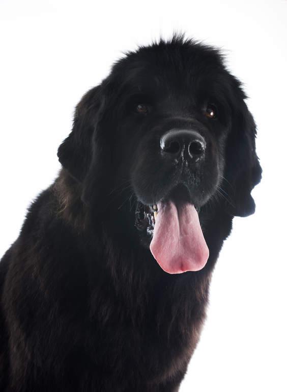 Newfoundland Hundar Rasinformations Omlet