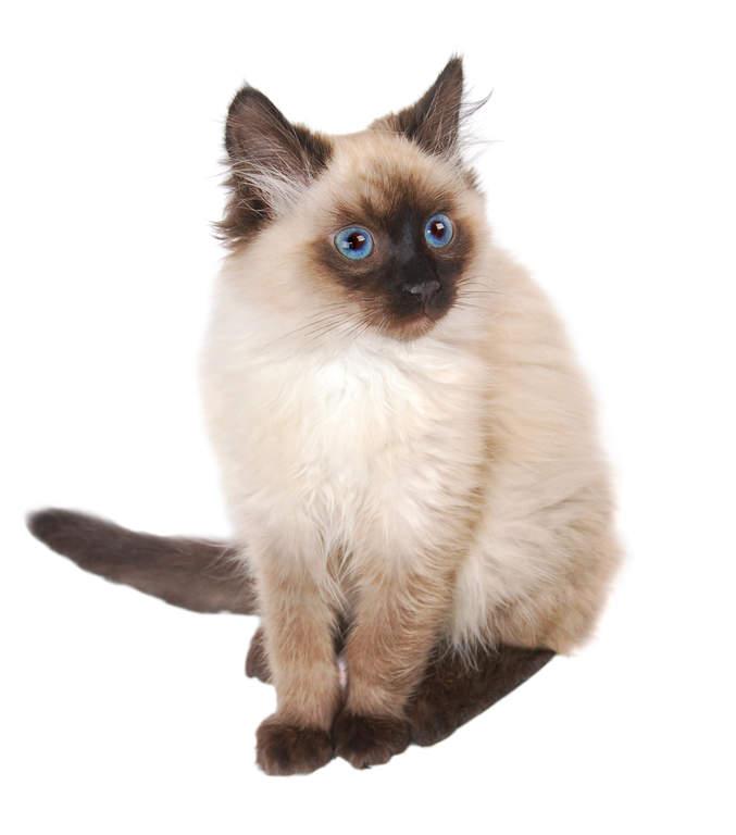 Chinchilla For Sale >> Perser - Himalaya | Katter | Rasinformation | Omlet