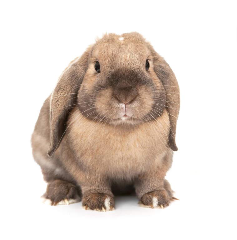 Mini lop kanin till salu